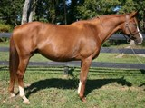 Thoroughbred mare Donnova