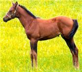 Bay Filly; A Giant Valentine - Bert's Lady Jester by Believe It